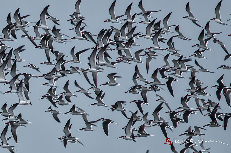 Black Skimmer  flock flailing the air