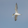 Least Tern with sandlance