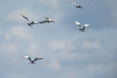 Common Terns gang fishing