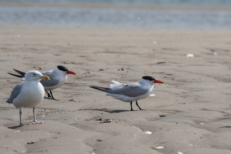 Caspian terns and a Herring gull, Hills Beach, Biddeford, Maine, August 31, 2017