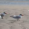 Caspian terns and a Herring gull, Hills Beach, Biddeford, Maine, August 31, 2017
