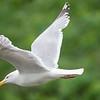 Herring gull, adult breeding, Damariscotta Mills, Maine, June 16, 2008