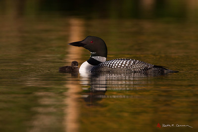 Loon and chick,Damariscotta Lake, Maine