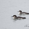 Common loons, nonbreeding plumage