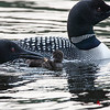 Feeding crawfish to loon chick