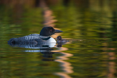Loon and chick in early morning light