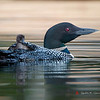 Loon and chick