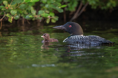 Loon_chick_Hoes_Island_7July2013_-0028-Edit