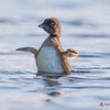 Loon chick practices alert posture
