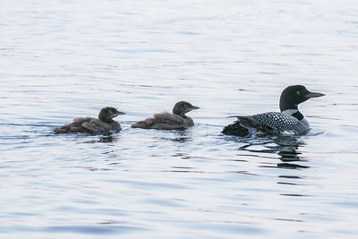 Loon mother and chicks