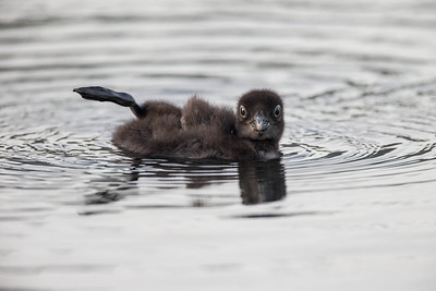 Loon chick practices foot waggle
