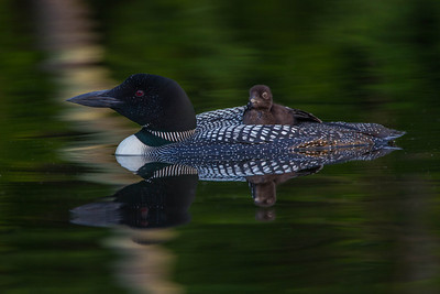 Loon chick riding on adult back