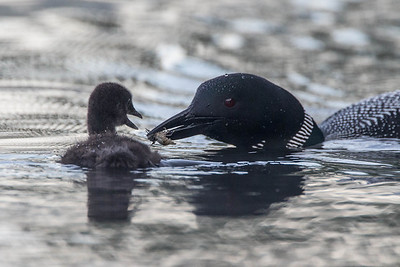 Loon feeds chick