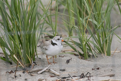 Piping plover with four eggs in nest (behind)
