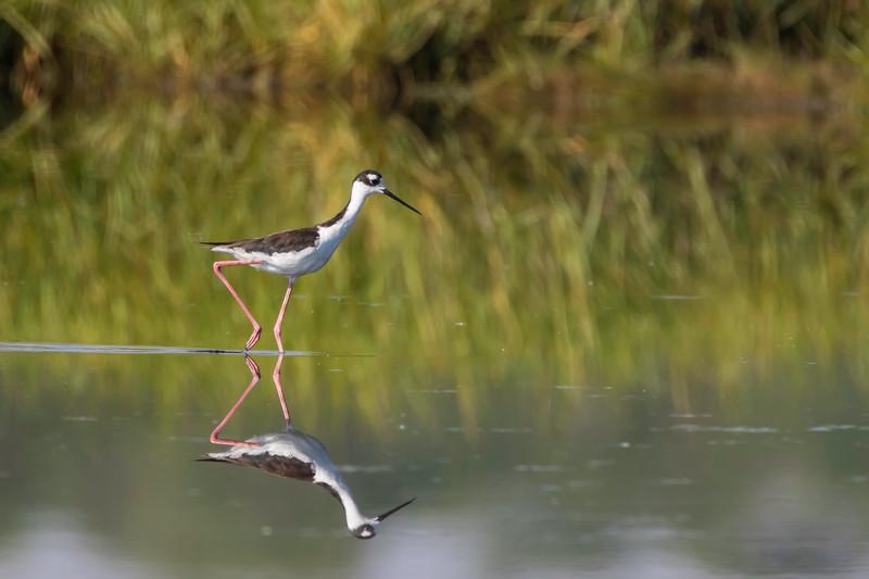 Black-necked stilt and reflection