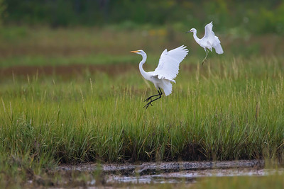 Jumping Great egret (L) and Snowy egret (R)