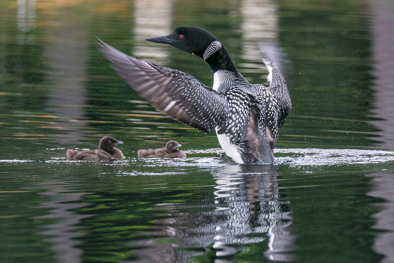 Loon does wingflap with two chicks watching