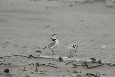 Piping plover male does a mating strut behind a disinterested female
