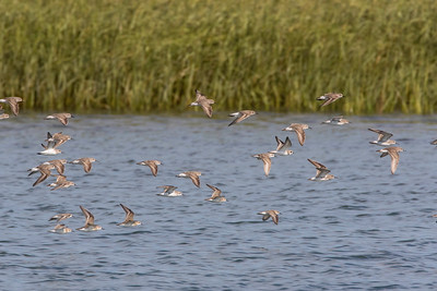 Semipalmated sandpipers (mostly) with a Semipalmated plover - flight shot
