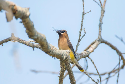 Cedar waxwing with dragonfly