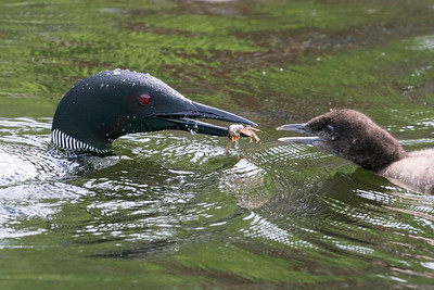 Loon feeds crayfish to month-old chick