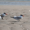 Caspian terns (2) and a Herring gull