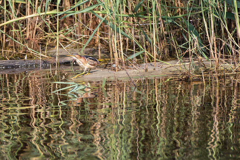 Least bittern, cautiously looking left