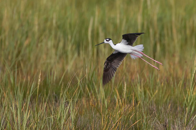 Black-necked stilt in flight