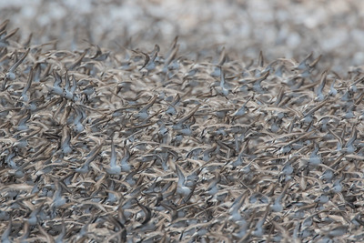 Another photograph of a very dense cloud of Semipalmated Sandpipers in flight