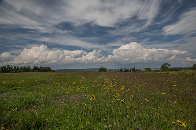 A field of tansies with mid-afternoon cumulus clouds, Johnsons Mills, New Brunswick