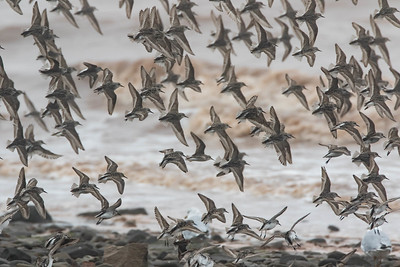 Dorsal view of Semipalmated Sandpipers in flight