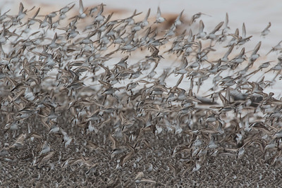 Thousands of birds alighting into a group of roosting birds