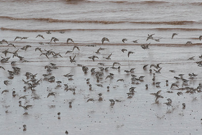 As the tide recedes, the birds begin to feed on the exposed mudflats
