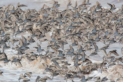 A dense cloud of sandpipers on approach, feet deployed for landing