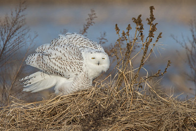 Snowy Owl - wings up