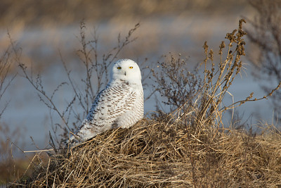 Snowy Owl - yellow eyes