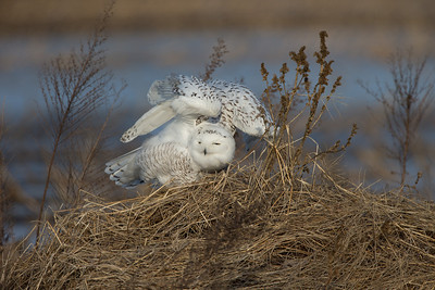 Snowy Owl - wings way up