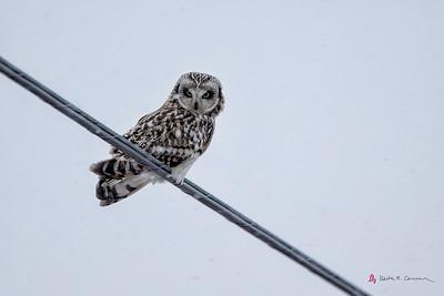Short-eared Owl, Hadley, Massachusetts