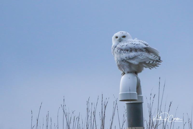 Snowy owl, female
