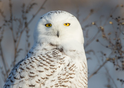 Snowy Owl - head closeup