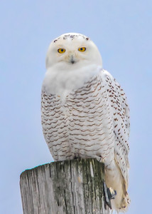 Snowy owl, female