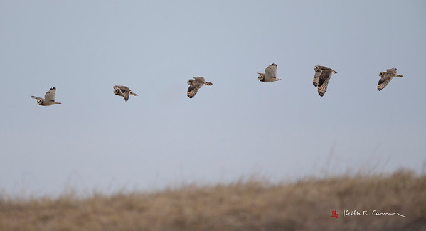 Short-eared Owl - composite of six flight shots
