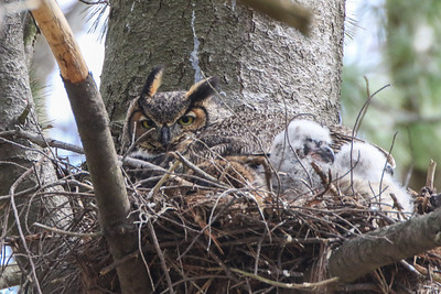 Great Horned Owl and two owlets on nest