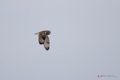 Short-eared Owl flight - wings down
