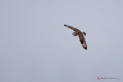 Short-eared Owl flight - wings extended