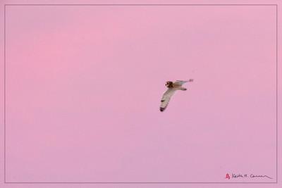Short-eared Owl flight against pink skies
