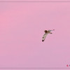Short-eared Owl flight against pink skies