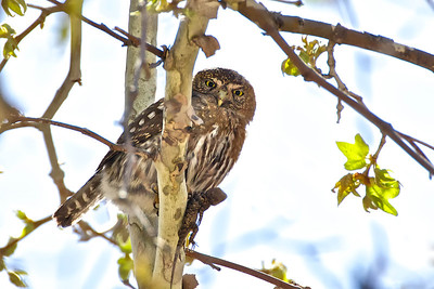 Pygmy Owl with lizard