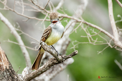 Brown Crested Flycatcher