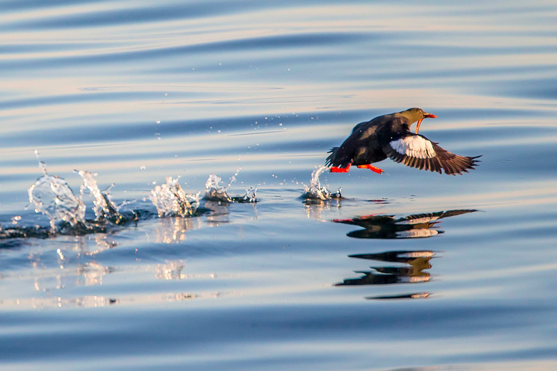 Black guillemot, breeding plumage, with seaworm on takeoff